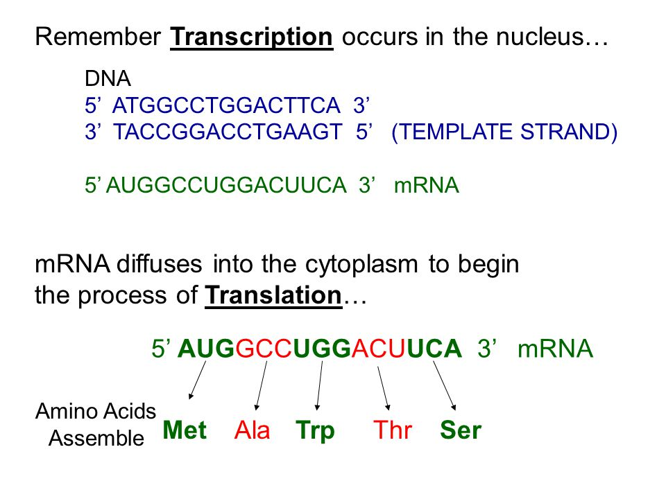 DNA 5' ATGGCCTGGACTTCA 3' 3' TACCGGACCTGAAGT 5' (TEMPLATE STRAND) 5' AUGGCCUGGACUUCA 3' mRNA Remember Transcription occurs in the nucleus… mRNA diffuses into the cytoplasm to begin the process of Translation… 5' AUGGCCUGGACUUCA 3' mRNA Amino Acids Assemble MetAlaTrpThrSer