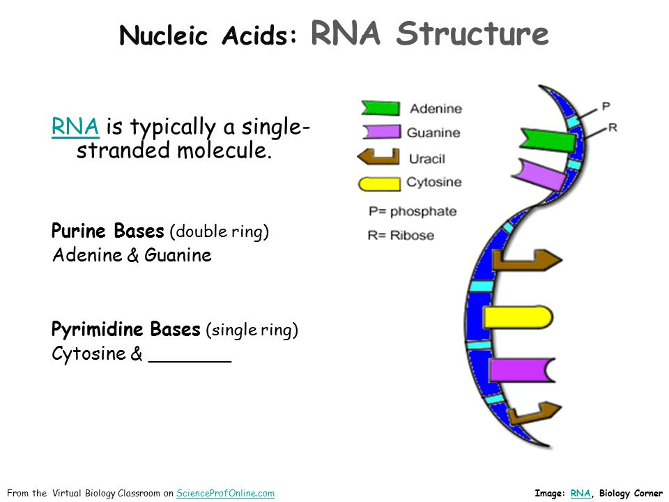 Nucleic Acids: RNA Structure RNARNA is typically a single- stranded molecule. Purine Bases (double ring) Adenine & Guanine Pyrimidine Bases (single ri