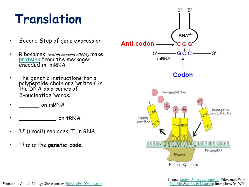 Translation Second Step of gene expression. Ribosomes (which contain rRNA) make proteins from the messages encoded in mRNA. proteins The genetic instr