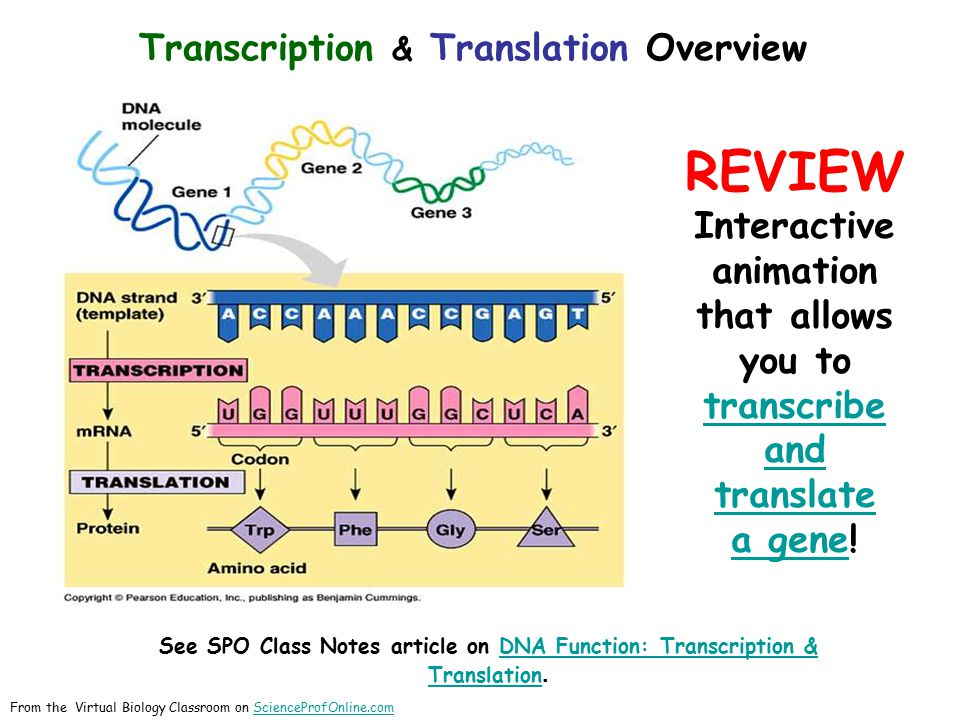 Transcription & Translation Overview REVIEW Interactive animation that allows you to transcribe and translate transcribe and translate a genea gene! S
