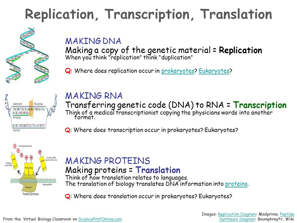 "Replication, Transcription, Translation MAKING DNA Making a copy of the genetic material = Replication When you think ""replication"" think ""duplication"