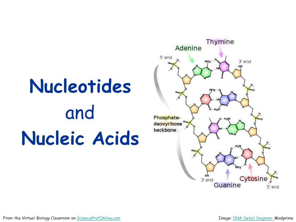 Nucleic Acids: RNA Structure RNARNA is typically a single- stranded molecule.