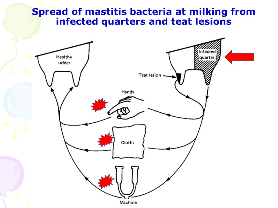 Spread of mastitis bacteria at milking from infected quarters and teat lesions