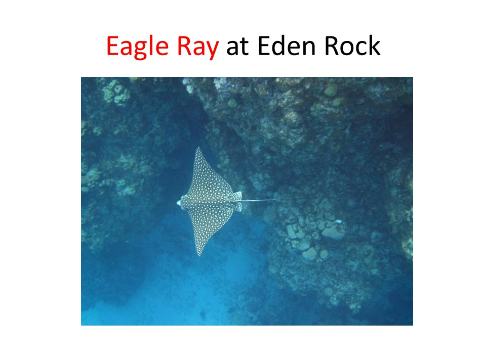 Eagle Ray at Eden Rock