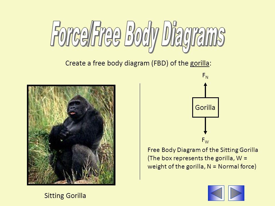 Create a free body diagram (FBD) of the gorilla: Sitting Gorilla Free Body Diagram of the Sitting Gorilla (The box represents the gorilla, W = weight of the gorilla, N = Normal force) FWFW Gorilla FNFN