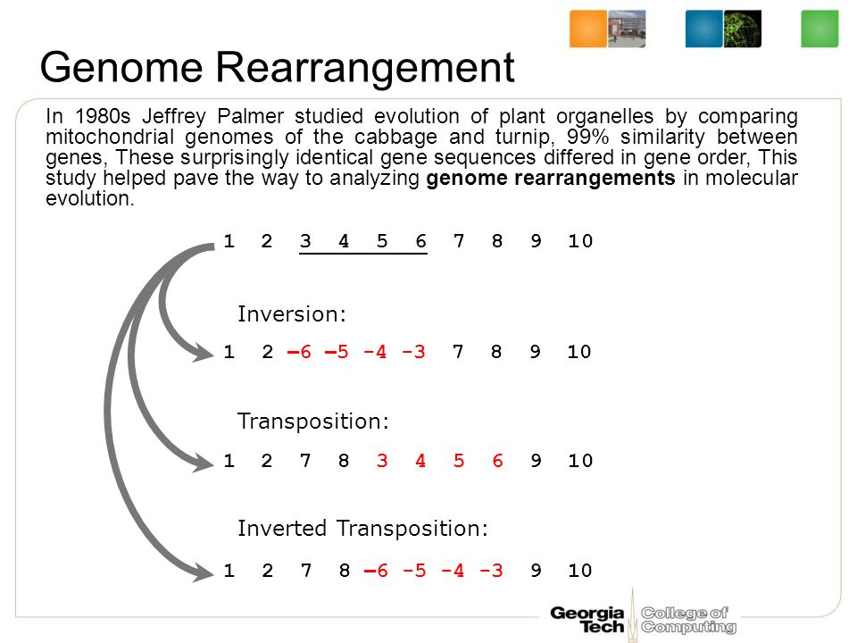 Genome Rearrangement In 1980s Jeffrey Palmer studied evolution of plant organelles by comparing mitochondrial genomes of the cabbage and turnip, 99% similarity between genes, These surprisingly identical gene sequences differed in gene order, This study helped pave the way to analyzing genome rearrangements in molecular evolution.