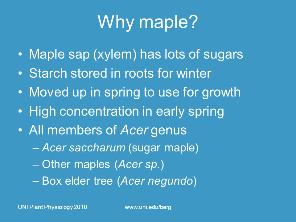 UNI Plant Physiology 2010www.uni.edu/berg Why maple? Maple sap (xylem) has lots of sugars Starch stored in roots for winter Moved up in spring to use