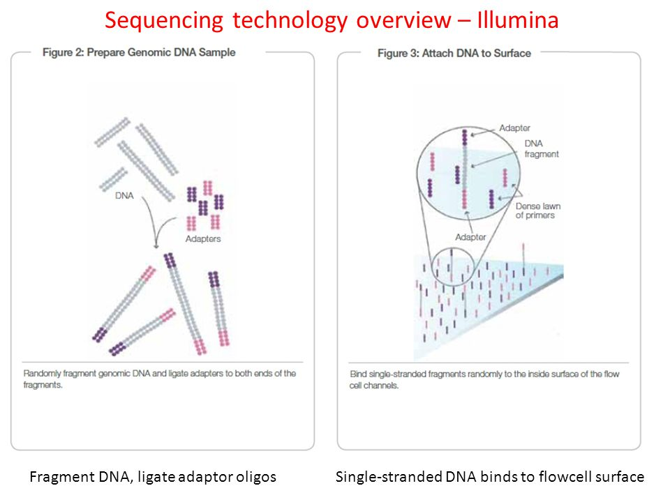 Sequencing technology overview – Illumina Fragment DNA, ligate adaptor oligos Single-stranded DNA binds to flowcell surface