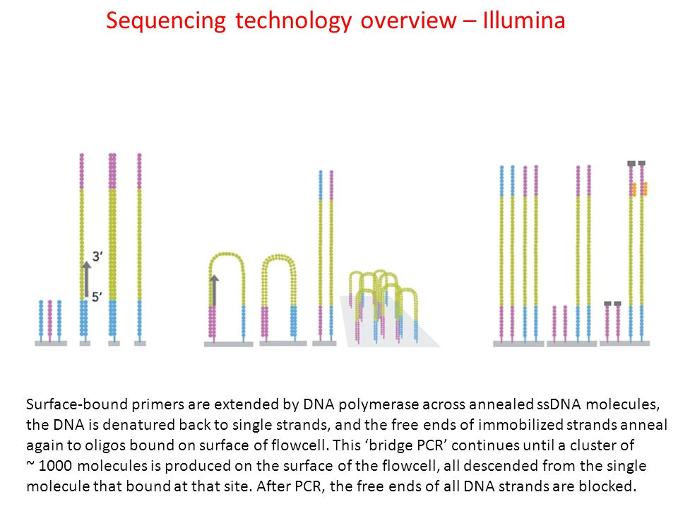 Sequencing technology overview – Illumina Surface-bound primers are extended by DNA polymerase across annealed ssDNA molecules, the DNA is denatured back to single strands, and the free ends of immobilized strands anneal again to oligos bound on surface of flowcell.