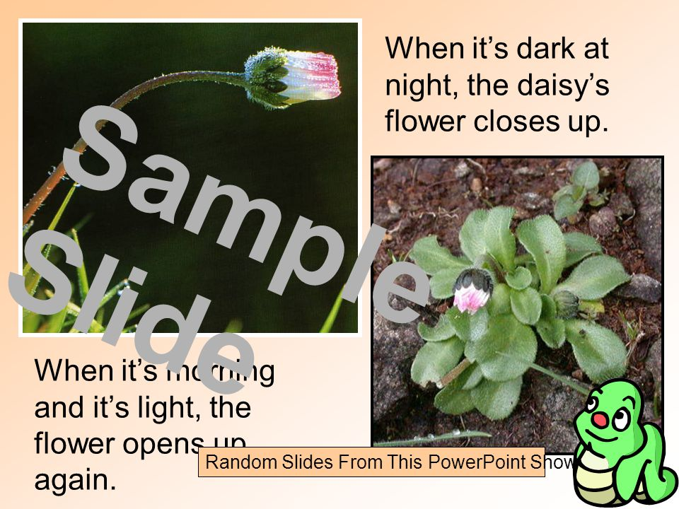 When it's dark at night, the daisy's flower closes up.