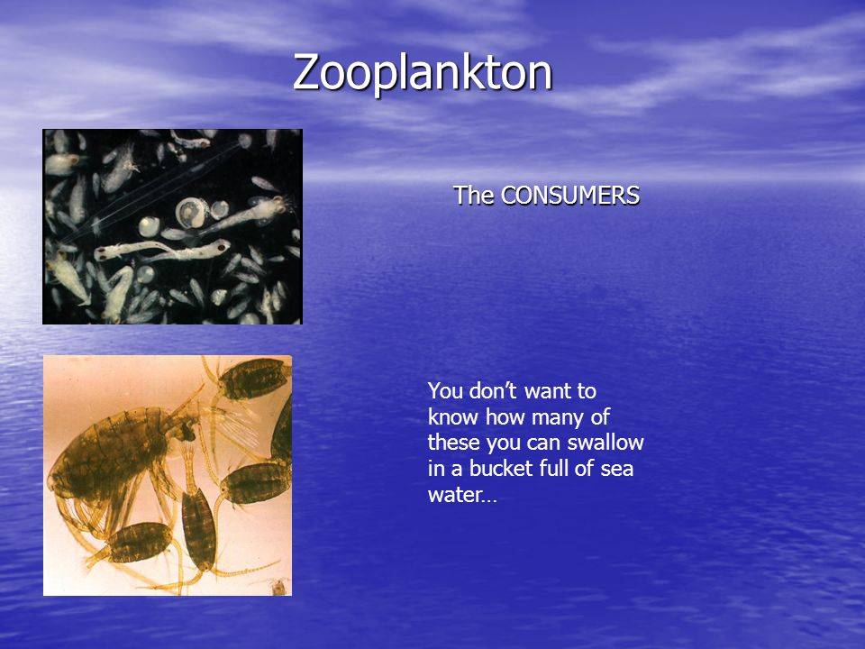 Zooplankton The CONSUMERS You don't want to know how many of these you can swallow in a bucket full of sea water…