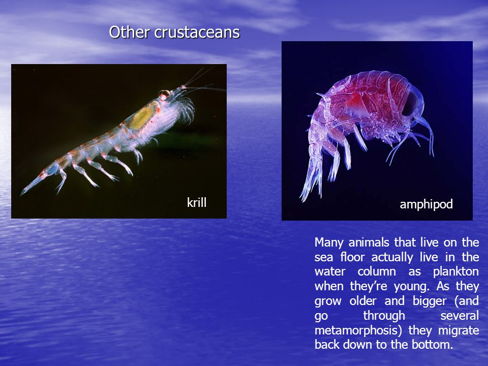 Other crustaceans krill amphipod Many animals that live on the sea floor actually live in the water column as plankton when they're young.