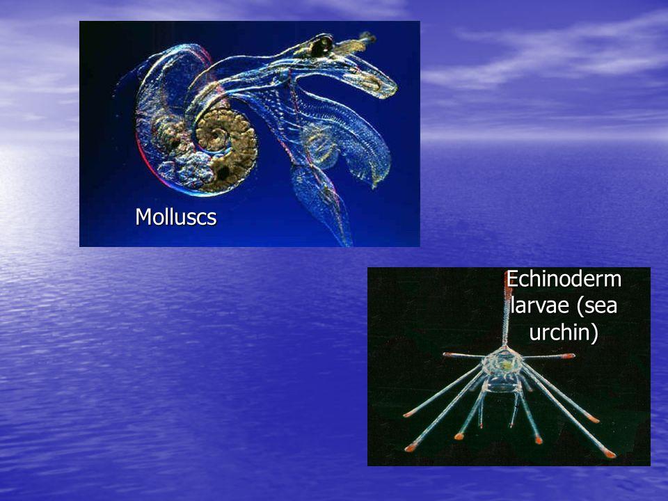 Echinoderm larvae (sea urchin) Molluscs