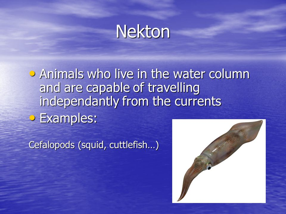 Nekton Animals who live in the water column and are capable of travelling independantly from the currents Animals who live in the water column and are capable of travelling independantly from the currents Examples: Examples: Cefalopods (squid, cuttlefish…)