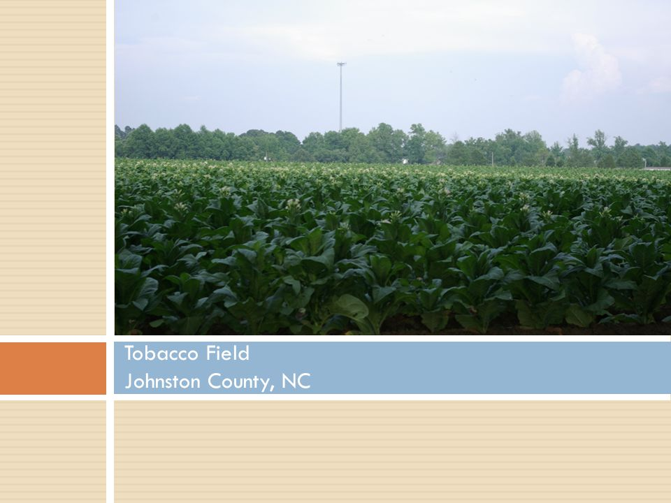 Tobacco Field Johnston County, NC
