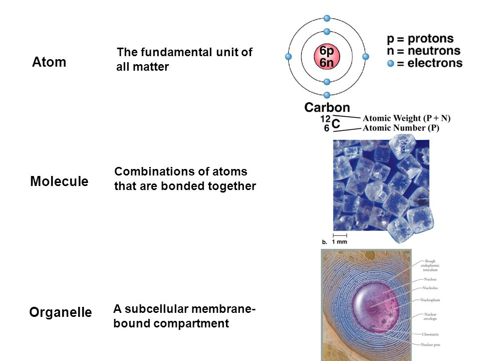 Molecule Combinations of atoms that are bonded together Atom The fundamental unit of all matter Organelle A subcellular membrane- bound compartment