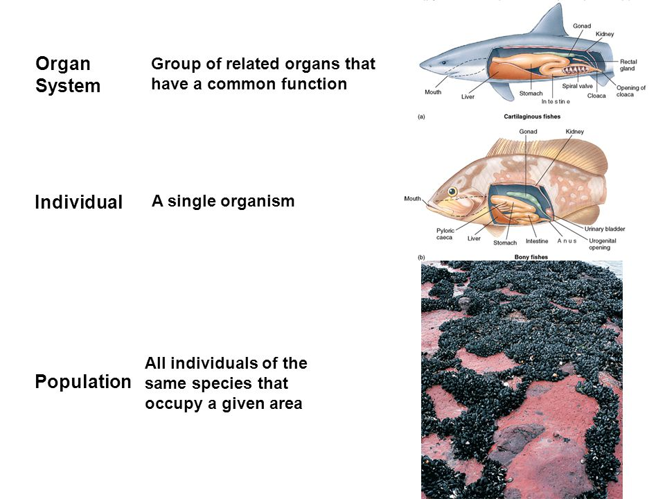 Population All individuals of the same species that occupy a given area Organ System Individual Group of related organs that have a common function A single organism