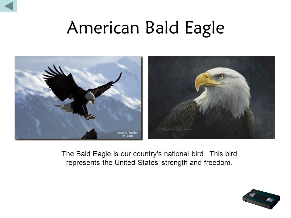 American Bald Eagle The Bald Eagle is our country's national bird. This bird represents the United States' strength and freedom.