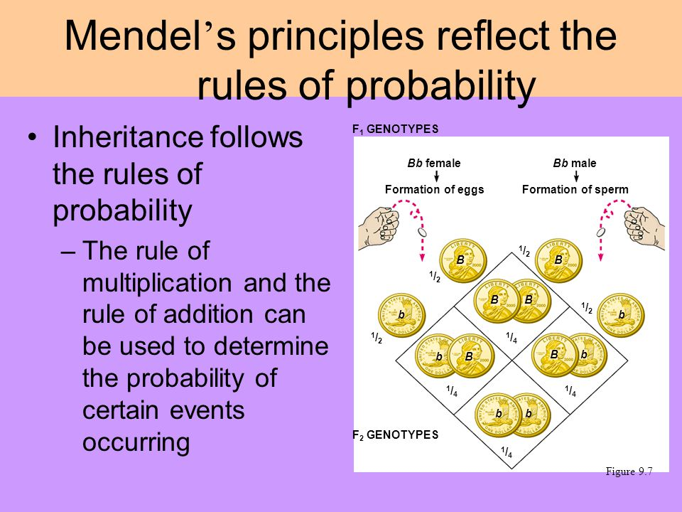 Inheritance follows the rules of probability –The rule of multiplication and the rule of addition can be used to determine the probability of certain events occurring Mendel ' s principles reflect the rules of probability F 1 GENOTYPES Bb female F 2 GENOTYPES Formation of eggs Bb male Formation of sperm 1/21/2 1/21/2 1/21/2 1/21/2 1/41/4 1/41/4 1/41/4 1/41/4 BB BB B B b b b b bb Figure 9.7