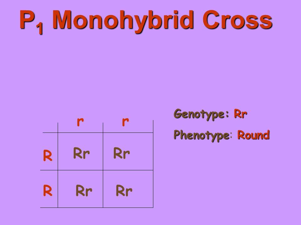 P 1 Monohybrid Cross R R rr Rr Genotype:Rr Genotype: Rr PhenotypeRound Phenotype: Round