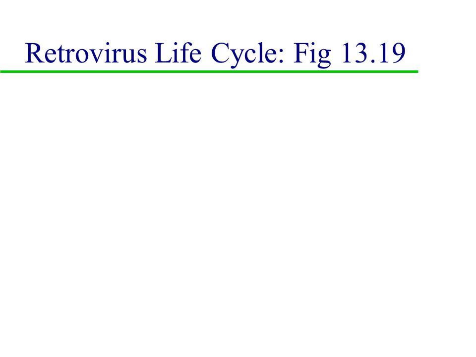 E. Class V: ss (-) RNA viruses u 1. Rhabdoviridae u 2.