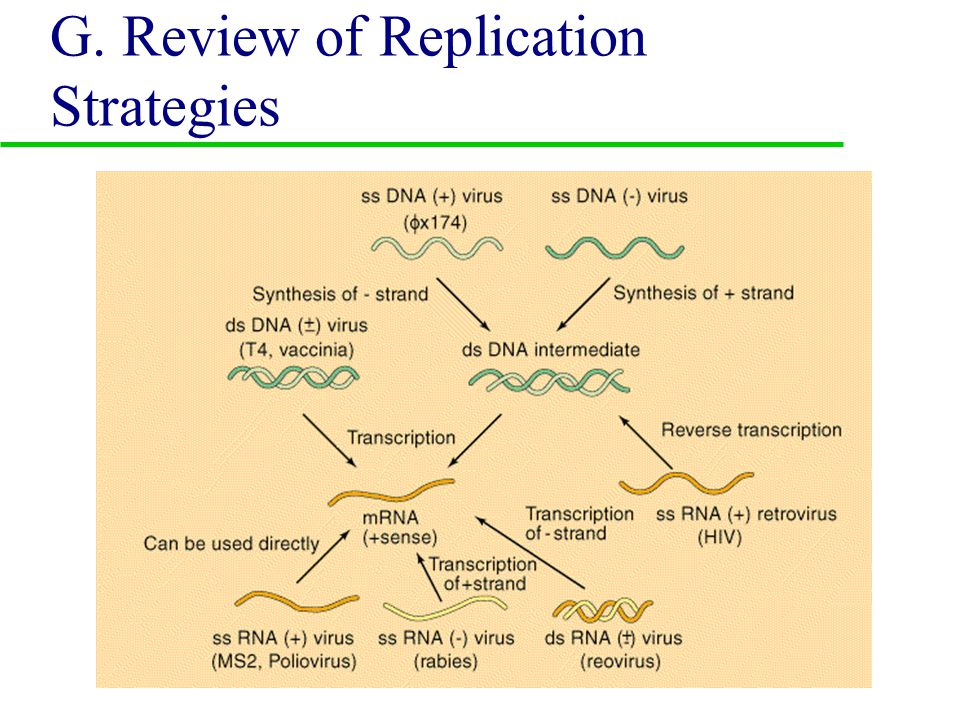 F. Class VI: ss (+) viruses (dsDNA intermediate) u 1. Retroviridae –Oncoviruses –Lentivirus
