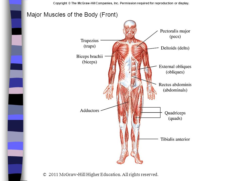 Major Muscles of the Body (Front) Copyright © The McGraw-Hill Companies, Inc. Permission required for reproduction or display. © 2011 McGraw-Hill High