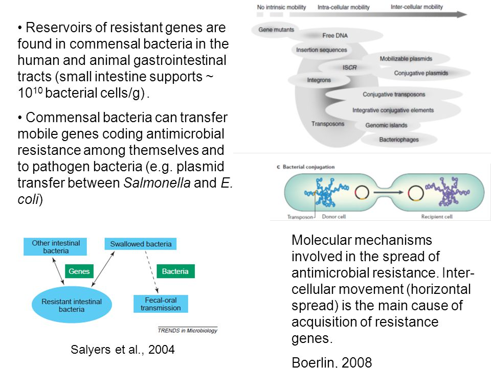 Reservoirs of resistant genes are found in commensal bacteria in the human and animal gastrointestinal tracts (small intestine supports ~ 10 10 bacterial cells/g).