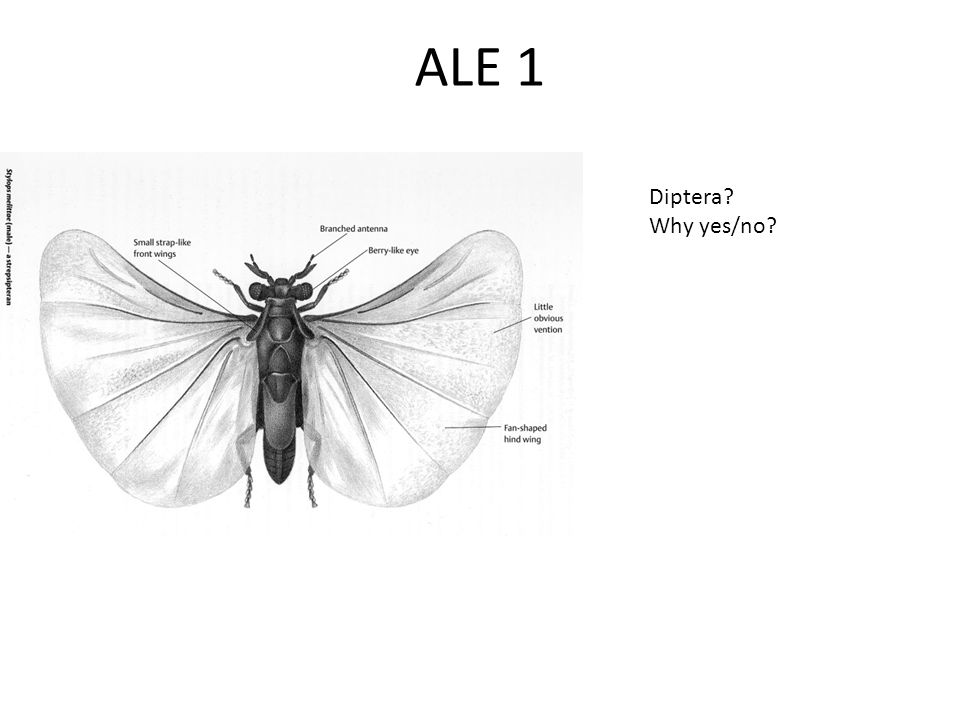 ALE 1 Diptera Why yes/no