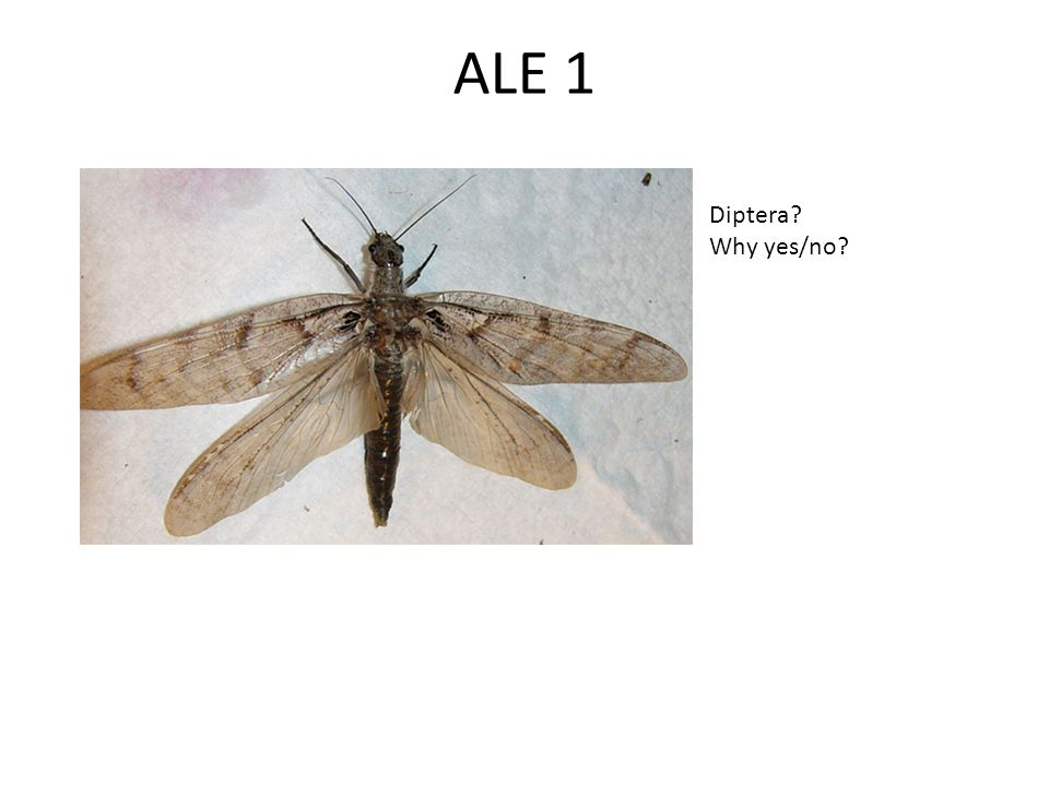 ALE 1 Diptera? Why yes/no?