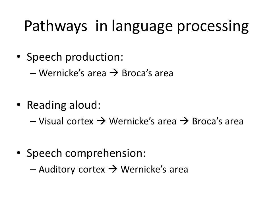 Pathways in language processing Speech production: – Wernicke's area  Broca's area Reading aloud: – Visual cortex  Wernicke's area  Broca's area Sp