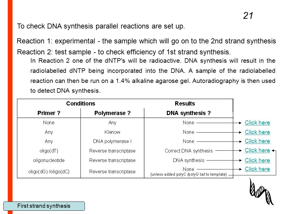 First strand synthesis In Reaction 2 one of the dNTP's will be radioactive. DNA synthesis will result in the radiolabelled dNTP being incorporated int