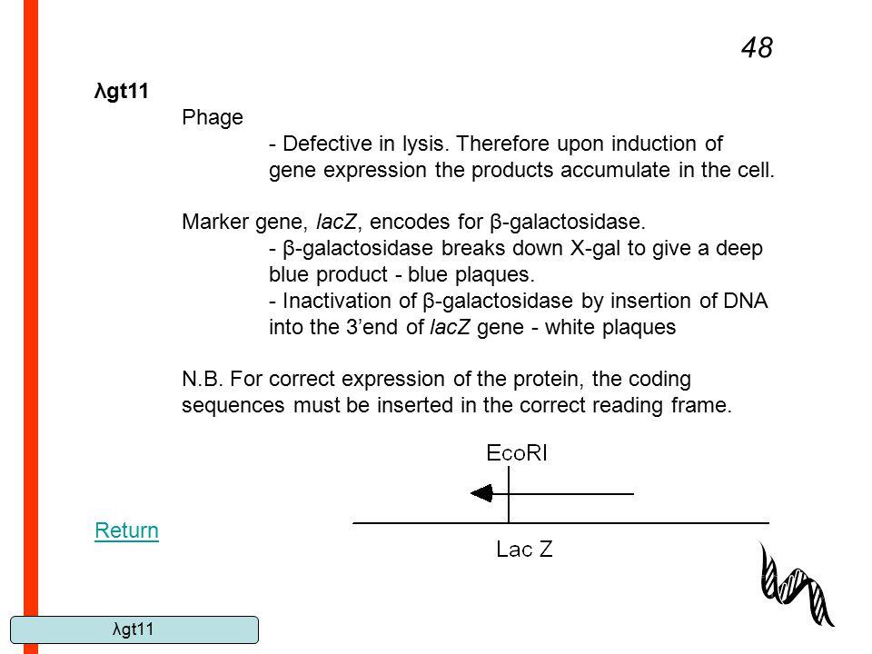 λgt11 48 λgt11 Phage - Defective in lysis. Therefore upon induction of gene expression the products accumulate in the cell. Marker gene, lacZ, encodes