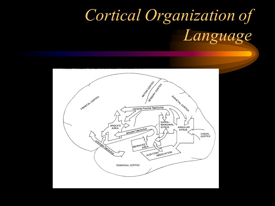 Cortical Organization of Language