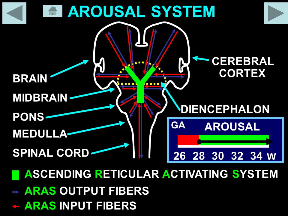ASCENDING RETICULAR ACTIVATING SYSTEM ARAS OUTPUT FIBERS ARAS INPUT FIBERS SPINAL CORD MEDULLA PONS MIDBRAIN BRAIN DIENCEPHALON CORTEX CEREBRAL AROUSAL SYSTEM 2628303234 W AROUSAL GA