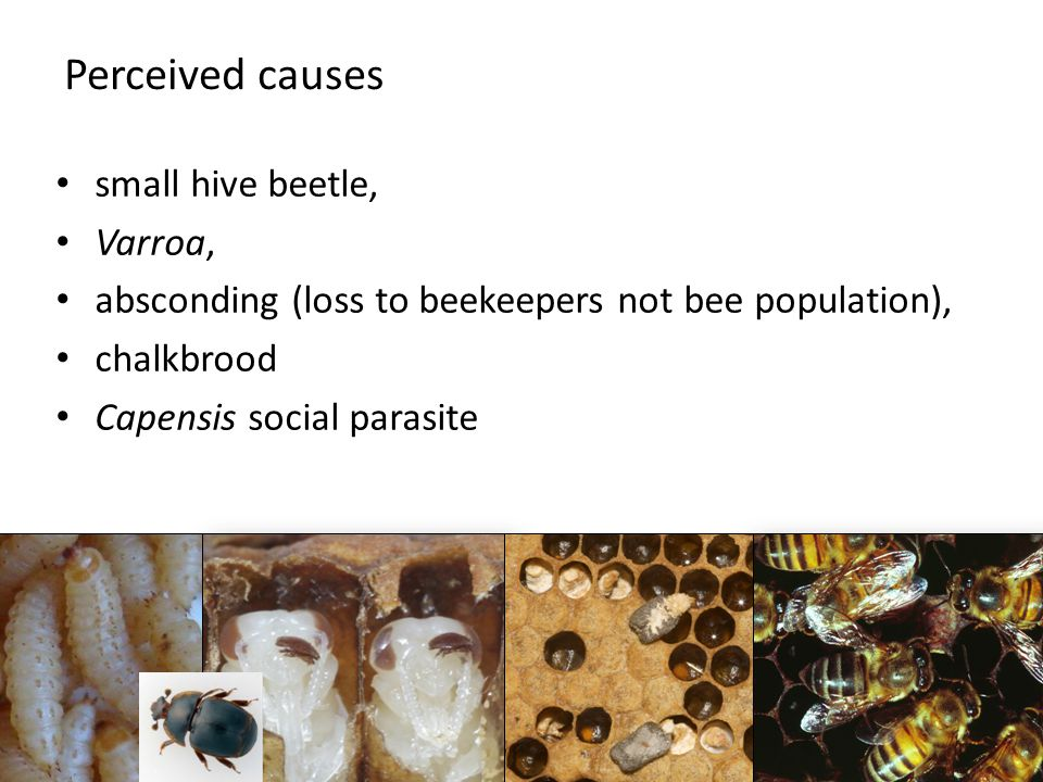 Perceived causes small hive beetle, Varroa, absconding (loss to beekeepers not bee population), chalkbrood Capensis social parasite