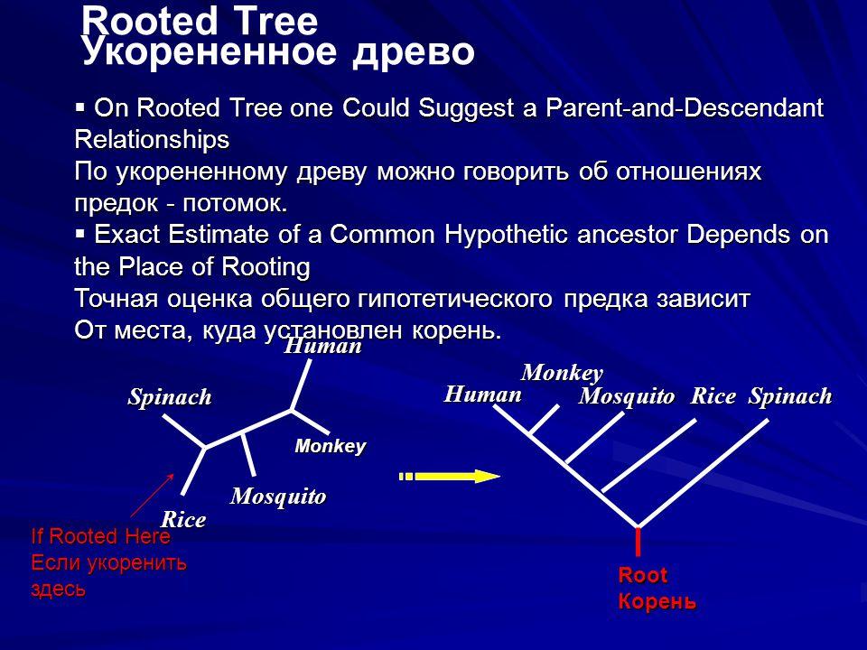 Monkey Rooted Tree Укорененное древо  On Rooted Tree one Could Suggest a Parent-and-Descendant Relationships По укорененному древу можно говорить об отношениях предок - потомок.