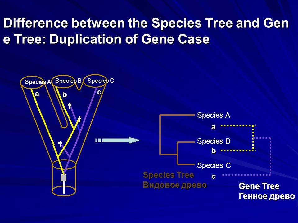 Species A Species BSpecies C Species A Species B Species C Species Tree Видовое древо a bca b c Gene Tree Генное древо Difference between the Species Tree and Gen e Tree: Duplication of Gene Case