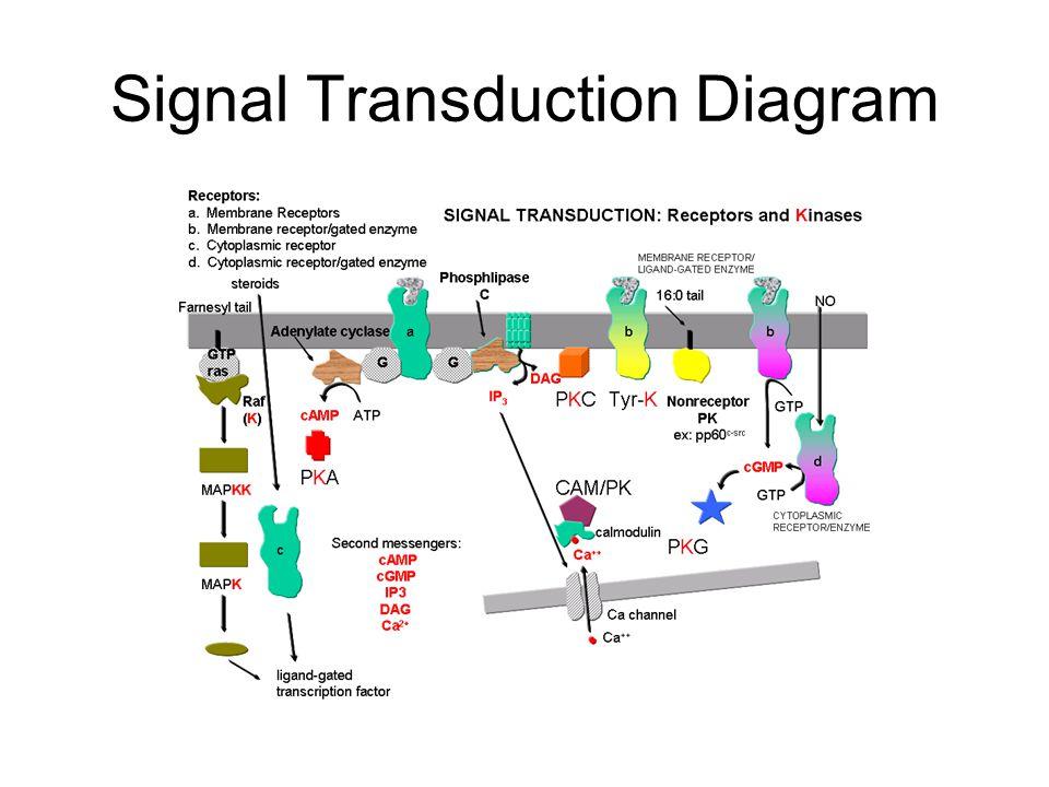 Signal Transduction Diagram
