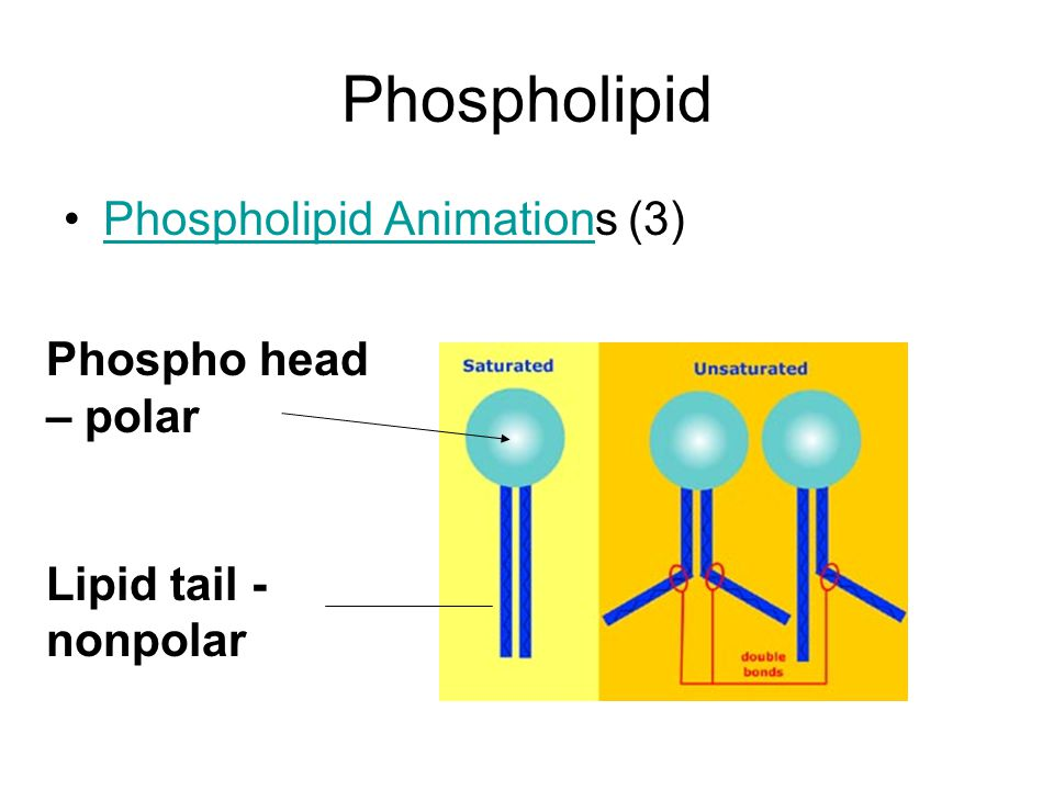 Phospholipid Bilayer Hydrophilic heads (water-loving) Hydrophobic tails (water-hating)
