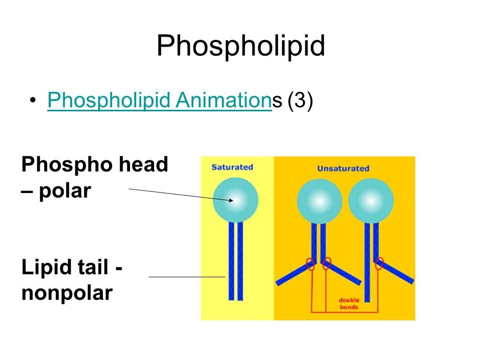 Phospholipid Phospholipid Animations (3)Phospholipid Animation Phospho head – polar Lipid tail - nonpolar