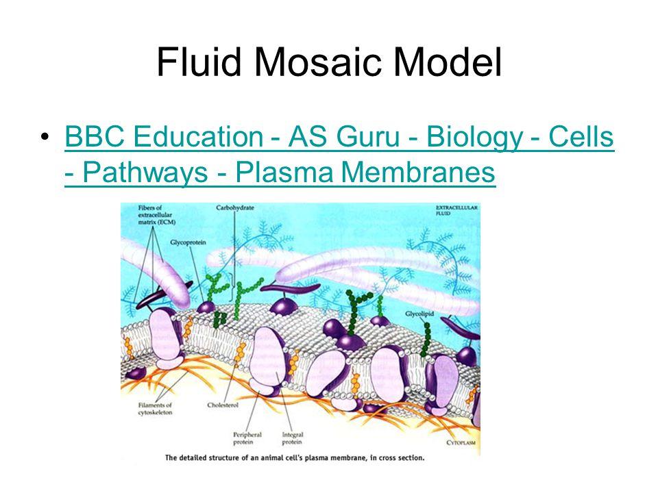 Fluid Mosaic Model BBC Education - AS Guru - Biology - Cells - Pathways - Plasma MembranesBBC Education - AS Guru - Biology - Cells - Pathways - Plasma Membranes