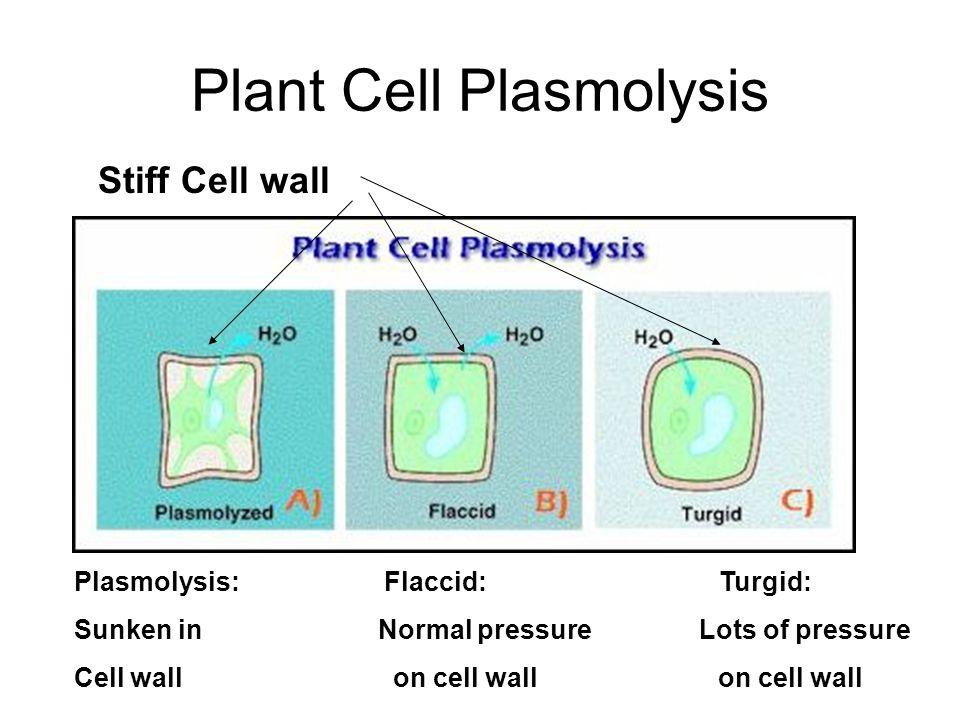 Plant Cell Plasmolysis Stiff Cell wall Plasmolysis: Flaccid: Turgid: Sunken in Normal pressure Lots of pressure Cell wall on cell wall on cell wall