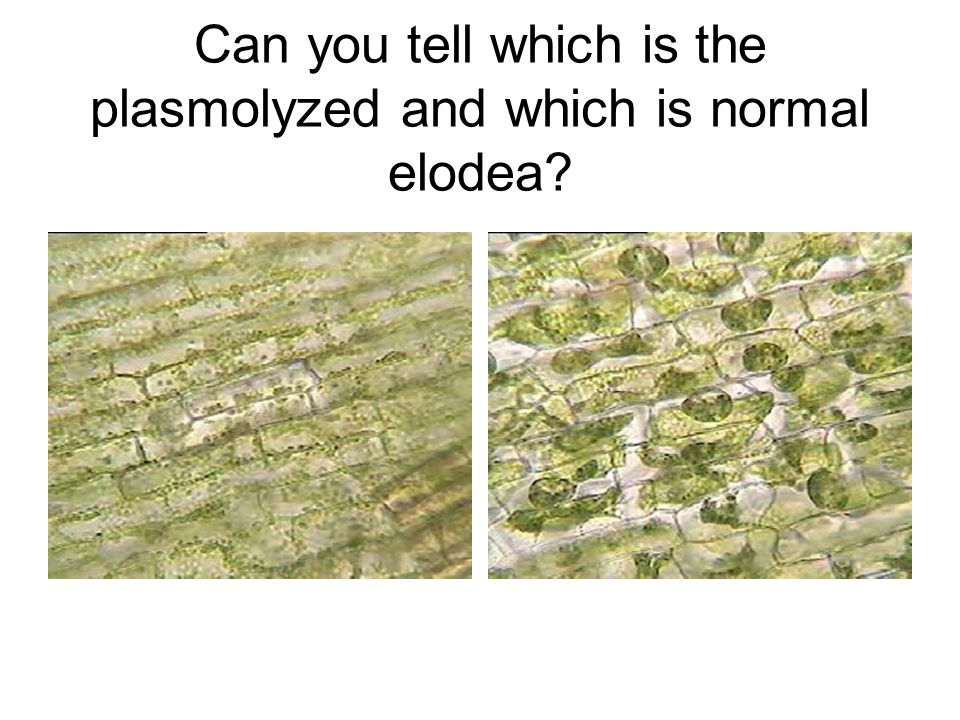 Can you tell which is the plasmolyzed and which is normal elodea?