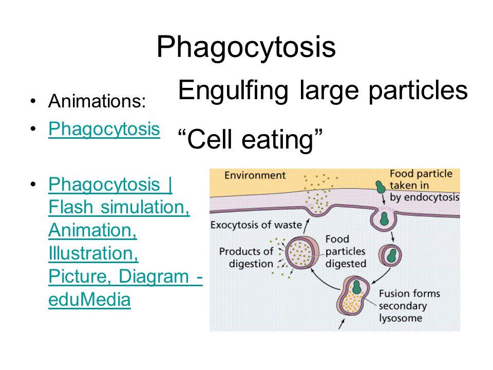 Phagocytosis Animations: Phagocytosis Phagocytosis | Flash simulation, Animation, Illustration, Picture, Diagram - eduMediaPhagocytosis | Flash simulation, Animation, Illustration, Picture, Diagram - eduMedia Engulfing large particles Cell eating
