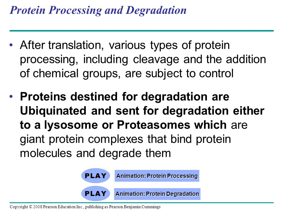 Copyright © 2008 Pearson Education Inc., publishing as Pearson Benjamin Cummings Protein Processing and Degradation After translation, various types o