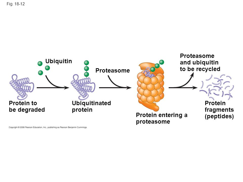 Fig. 18-12 Proteasome and ubiquitin to be recycled Proteasome Protein fragments (peptides) Protein entering a proteasome Ubiquitinated protein Protein