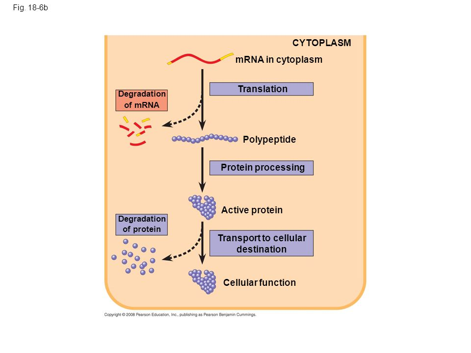 Fig. 18-6b mRNA in cytoplasm Translation CYTOPLASM Degradation of mRNA Protein processing Polypeptide Active protein Cellular function Transport to ce