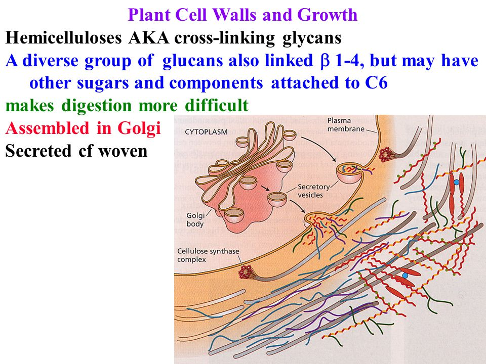 Plant Cell Walls and Growth Hemicelluloses AKA cross-linking glycans A diverse group of glucans also linked  1-4, but may have other sugars and comp