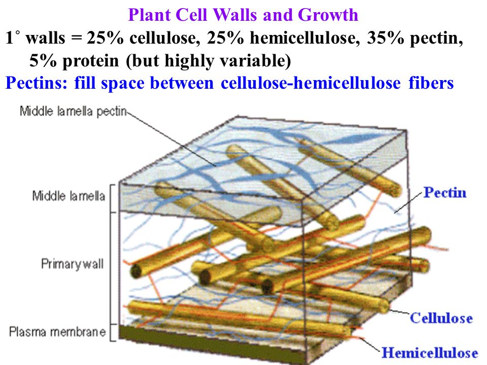 Plant Cell Walls and Growth 1˚ walls = 25% cellulose, 25% hemicellulose, 35% pectin, 5% protein (but highly variable) Pectins: fill space between cell